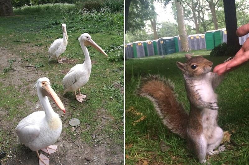 Пеликаны и белка в парке Лондона